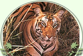Tiger in India